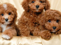 играчки за пудел кученца