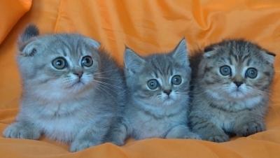 Шотландски късокосмести котета