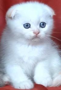 Бяло клепоухо късокосместо котенце