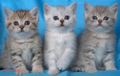 Чинчили късокосмести мъжки котенца
