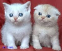Клепоухи късокосмести мъжки котенца