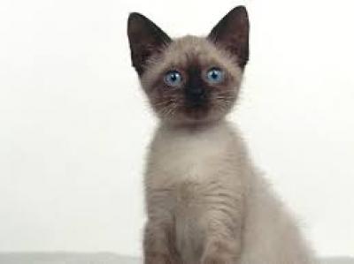 търся сиамско коте женско