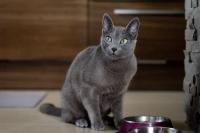 Руска синя котка АЗ ЩЕ КУПЯ