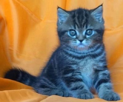 Златисто таби мъжко котенце