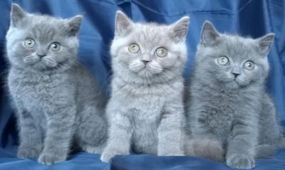 Чистокръвни британски котета