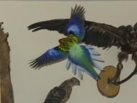 Papagal Rozela - Koko