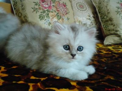 продавам персийски котенца \