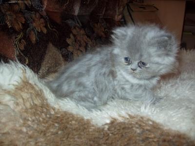 2 персийски котенца