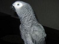 Papagal Zhako