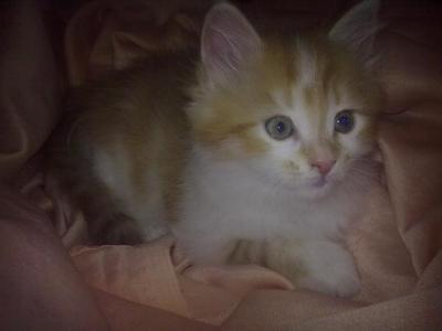 Полуперсийско мъжко коте