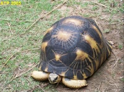 излъчена костенурки и други подобни видове за продажба.