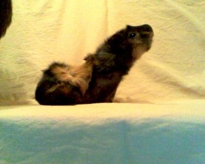 Darvin-подарявам морско свинче