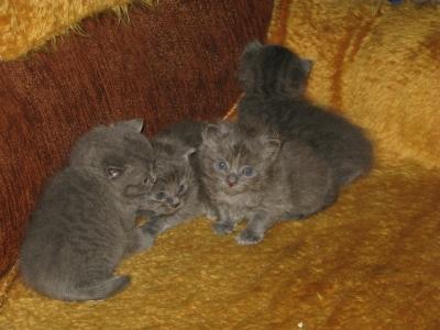 малки котенца, порода синя руска