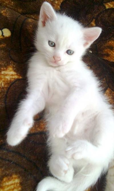 Чисто бяло малко коте