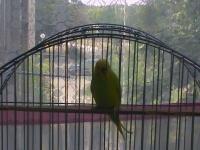 valnisti papagali