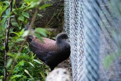 Palawan Peacock - Палаванов