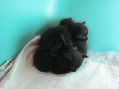 Чисто черни котета