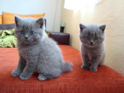 Британски късокосмести сини котета
