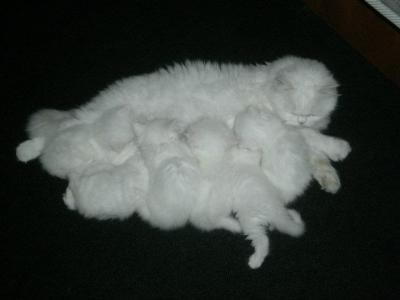 Малки, бели, чистокръвни персийски котенца