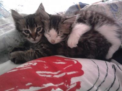 Подарявам две пухкави котенца