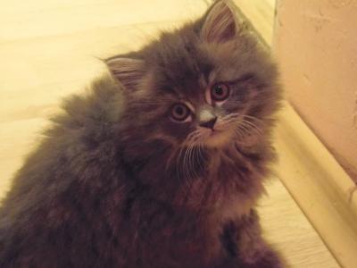 Сладки персийски котенца от Велико Търново