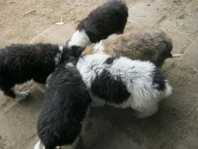 Каракачански кученца