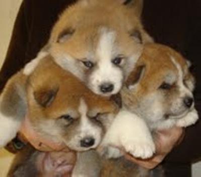 Акита кученца за продажба в Сърбия