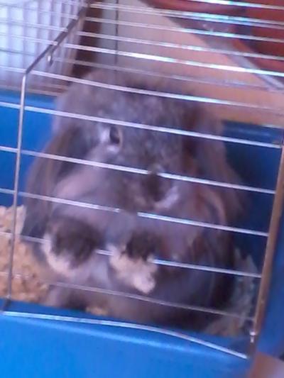 Продавам клепоухо мини зайче