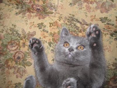 Британско котенце