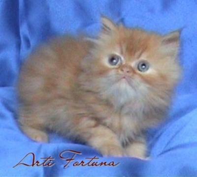Персийски котенца!!!на добри цени!!! - договар