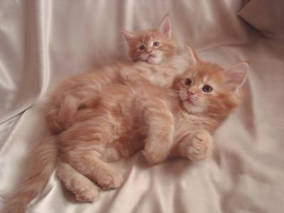 Мейн Куун котенца от Развъдник