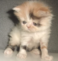 Продавам пухкави персийски котета