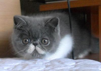 Екзотични късокосмести котенца от RUBINENAROZA