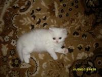 Персийски котета