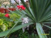 2 бели котенца, все още без име