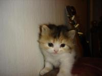 Продавам чистокръвно персийско коте