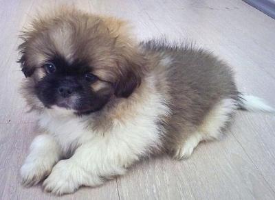 Продавам куче Пекинез спешно