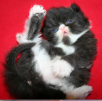 Предлага 2 мъжки персийски котенца