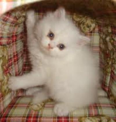 ТЪРСЯ бяло персийско коте