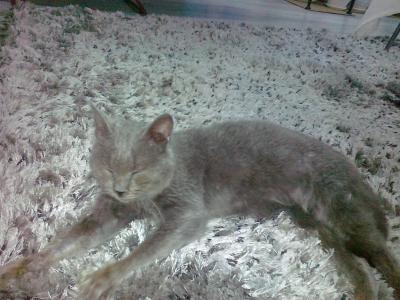 Намерена синя руска котка