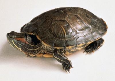Червенобуза костенурка