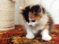 Търся малко котенце