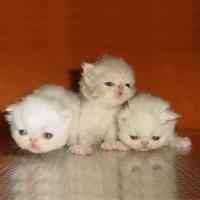 Персийски котенца - малки сме, но бързо расте