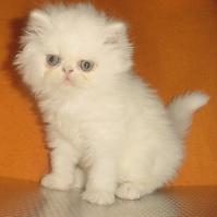 Персийско котенце -  бяло момче.
