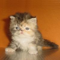 Персийски котенца - голям избор.
