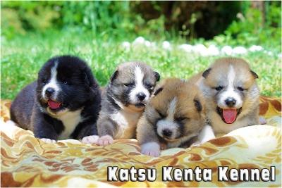Katsu Kenta Kennel - продава бебета от породат