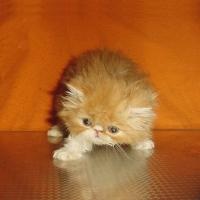 Червено-бели персийски котенца