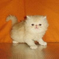 Кремави персийски котенца.