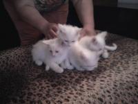 ангорски котенца