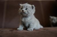Британски късокосмести котета
